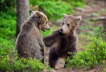 Brown Bear Cubs playfully fighting in summer forest. Scientific name: Ursus Arctos Arctos. Natural habitat.
