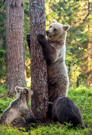 She-bear and bear cubs in the summer pine forest.  Summer season, Natural Habitat. Brown bear, scientific name: Ursus arctos. Stock Photo