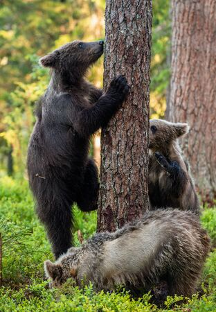 Bear Cub stands on its hind legs by a tree in a summer forest. Brown Bear, Scientific name: Ursus Arctos. Natural habitat, summer season. 版權商用圖片