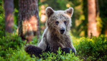 Cub of Brown Bear in the summer forest. front view, close up. Natural habitat. Scientific name: Ursus arctos. Stock Photo