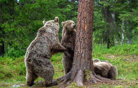 She-bear and bear cubs in the summer pine forest.  Summer season, Natural Habitat. Brown bear, scientific name: Ursus arctos. Foto de archivo