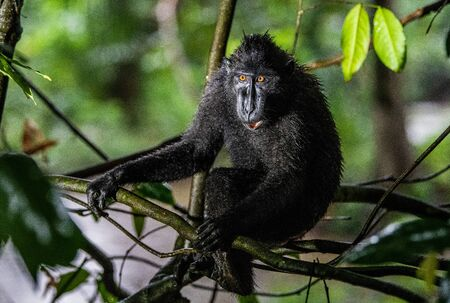 The Celebes crested macaque on the tree. Green natural background. Crested black macaque, Sulawesi crested macaque, or the black ape. Natural habitat. Sulawesi Island. Indonesia.