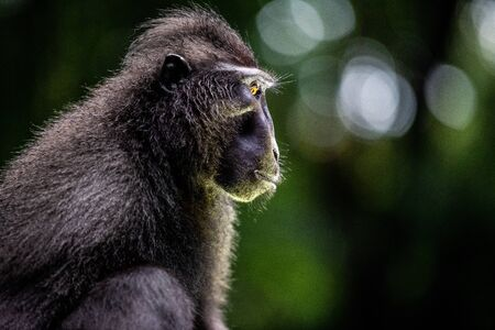 The Celebes crested macaque. Close up, side view. Crested black macaque, Sulawesi crested macaque, or the black ape. Natural habitat. Sulawesi Island. Indonesia. Foto de archivo