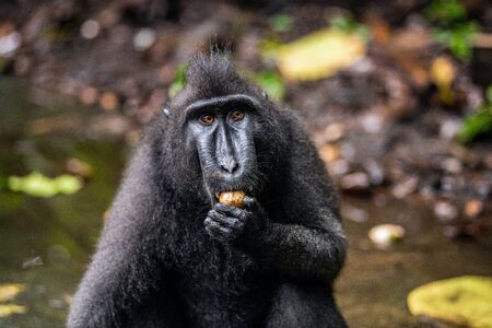 Celebes crested macaque eating fruit. Front view, Close up portrait . Crested black macaque, Sulawesi crested macaque, or black ape. Natural habitat. Sulawesi Island. Indonesia