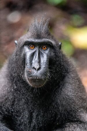 Celebes crested macaque. Front view, Close up portrait . Crested black macaque, Sulawesi crested macaque, or black ape. Natural habitat. Sulawesi Island. Indonesia