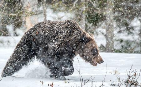 Bear walks through the winter forest in the snow . Snowfall, blizzard. Scientific name:  Ursus arctos. Natural habitat. Winter season.