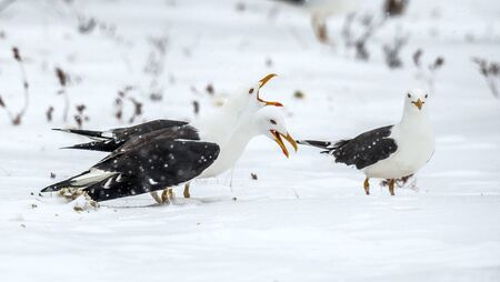 Seagulls scream while sitting on the snow-covered swamp in a winter forest. European herring gulls in snow. Scientific name: Larus argentatus. Winter forest. Foto de archivo