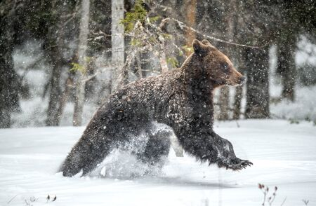 Brown bear runns in the snow in the winter forest. Snowfall, blizzard. Scientific name:  Ursus arctos. Natural habitat. Winter season.