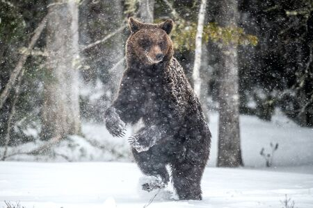 Brown bear standing on his hind legs on the snow in the winter forest. Snowfall, snow blizzard. Scientific name:  Ursus arctos. Natural habitat. Winter season.