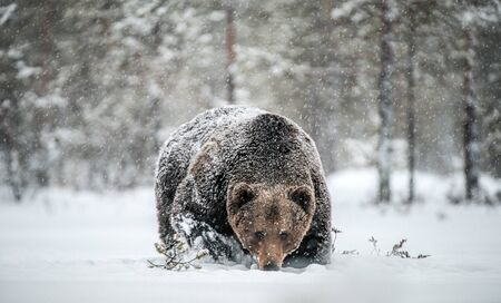 Adult Male of Brown  Bear walks through the winter forest in the snow. Front view. Snowfall, blizzard. Scientific name:  Ursus arctos. Natural habitat. Winter season. Foto de archivo