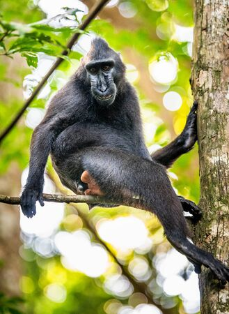 The Celebes crested macaque on the tree. Crested black macaque, Sulawesi crested macaque, sulawesi macaque or the black ape.  Natural habitat. Sulawesi Island. Indonesia. Foto de archivo