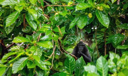 The Celebes crested macaque on the branch of the tree in the rain.  Crested black macaque, Sulawesi crested macaque, sulawesi macaque or the black ape.  Natural habitat. Sulawesi. Indonesia. Foto de archivo