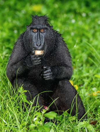 The Celebes crested macaque with fruit. Green natural background. Crested black macaque, Sulawesi crested macaque, sulawesi macaque or the black ape.  Natural habitat. Sulawesi Island. Indonesia. Foto de archivo