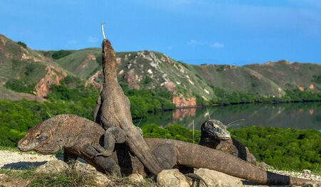 Dragon on the dragon. A female dragon climbed on top of the larger male. Komodo dragon,  scientific name: Varanus komodoensis. Scenic view on the background, Natural habitat.  Indonesia.