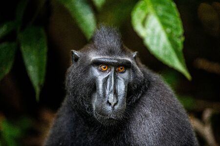 The Celebes crested macaque. Close up portrait, front view. Crested black macaque, Sulawesi crested macaque, or the black ape.  Natural habitat. Sulawesi. Indonesia.