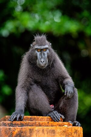 The Celebes crested macaque. Green natural background. Crested black macaque, Sulawesi crested macaque, sulawesi macaque or the black ape.  Natural habitat. Sulawesi Island. Indonesia.