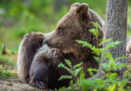Cub of Brown Bear in the summer forest. Closeup portrait, side view. Natural habitat. Scientific name: Ursus arctos.