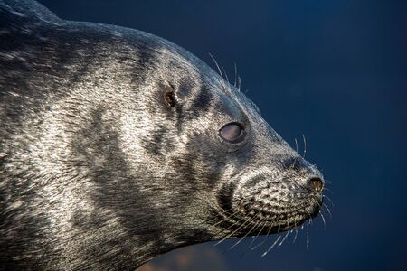 The Ladoga ringed seal resting on a stone. Close up portrait, side view. Scientific name: Pusa hispida ladogensis. The Ladoga seal in a natural habitat. Ladoga Lake. Russia