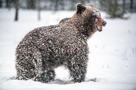 Brown bear in the snow blizzard in the winter forest. Snowfall. Scientific name:  Ursus arctos. Natural habitat. Winter season.