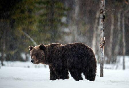 Big Male of Brown bear in winter forest. Scientific name: Ursus Arctos. Natural Habitat.
