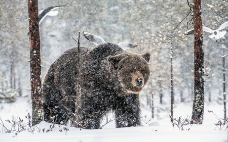 Adult Male of Brown bear in the snow. Snow Blizzard in the winter forest. Snowfall. Brown bear, Scientific name:  Ursus arctos. Natural habitat. Winter season.