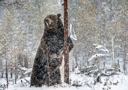 Brown bear standing on his hind legs on the snow in the winter forest. Snowfall. Scientific name:  Ursus arctos. Natural habitat. Winter season.