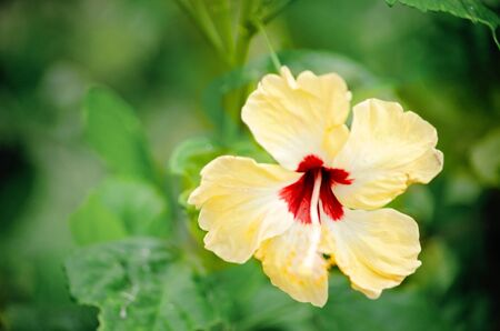 Single yellow hibiscus flower