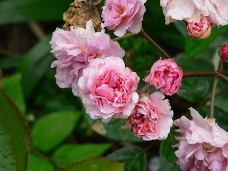 A cluster of roses, new and old