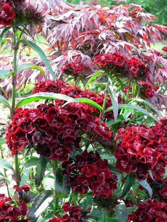 Maple and Dianthus