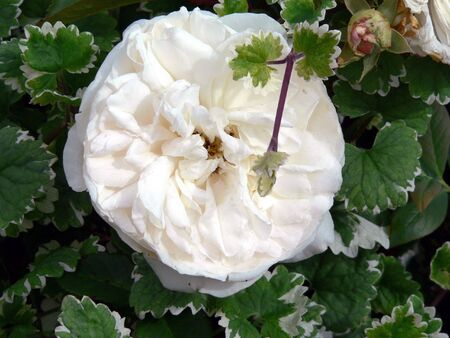 Rose among the ground cover
