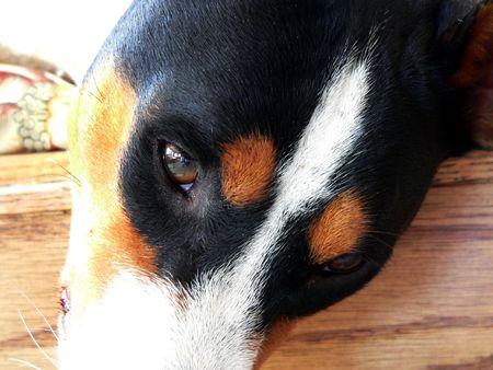 Basenji eyes