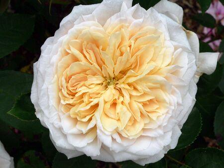 English Garden Rose Stock Photo