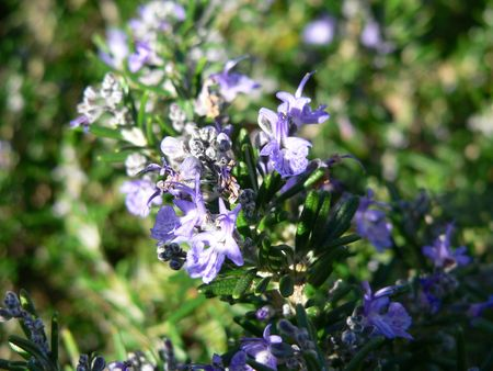 Rosemary, Up Close
