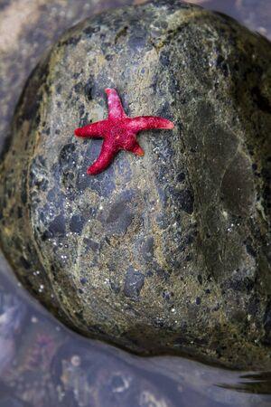 fish star: Pescado Blood estrella que pone en una roca en Washington piscina de marea costera