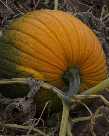 Large orange pumpkin with vines growing in a pumpkin patch  Stock Photo