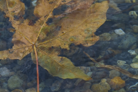Big floating maple leaf in shallow tide Stock Photo - 15977889