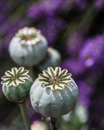 Three poppy seed capsules with purple from lavender farm in background in vertical composition  Stock Photo