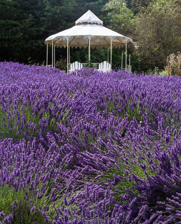 Vertical image of lavender field with white gazebo in background  Stock Photo