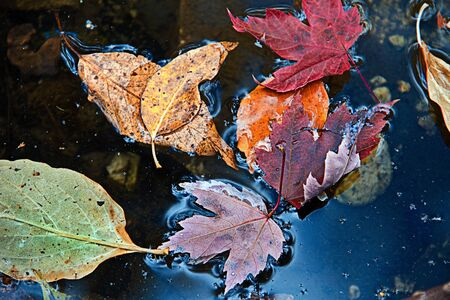 submerging: Multicolored fall leaves floating on the surface of water Stock Photo