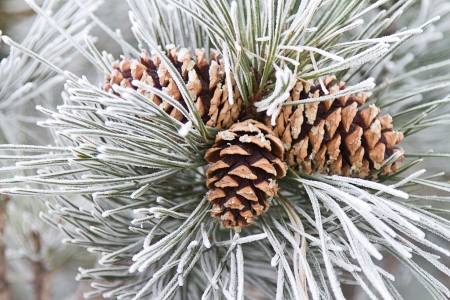Close up of frosted ponderosa pine needles and three pine cones.