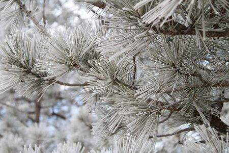 ponderosa pine winter: Frosted ponderosa pine needles in a forest. Stock Photo