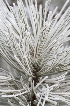 ponderosa pine winter: Close up of frosted ponderosa pine needles radiating in a vertical composition.