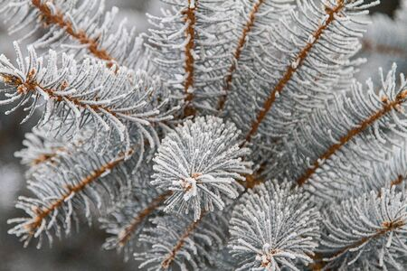 ponderosa pine winter: Close up of frosted ponderosa pine needles. Stock Photo