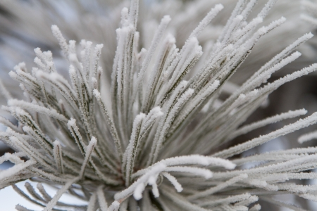 ponderosa pine winter: Close up of frosted ponderosa pine needles