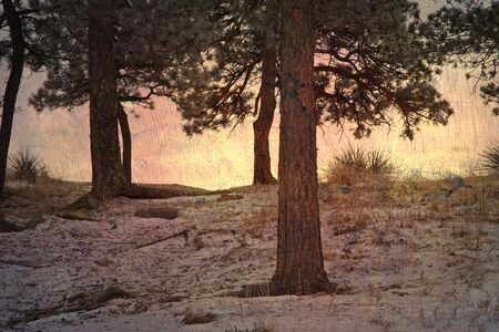 ponderosa pine winter: Snow dusts the ground on a frosty morning in the woods. Stock Photo