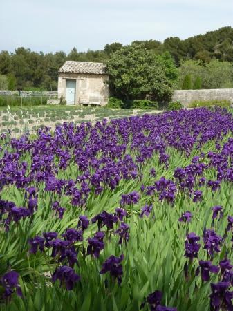 van gogh: Van Gogh Iris at Saint-Remy France