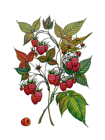 Raspberry branch. Wild berry. Medicinal Herbs.