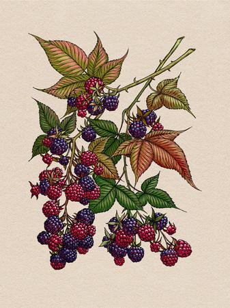 Blackberry branch. Wild berry. Medicinal Herbs.