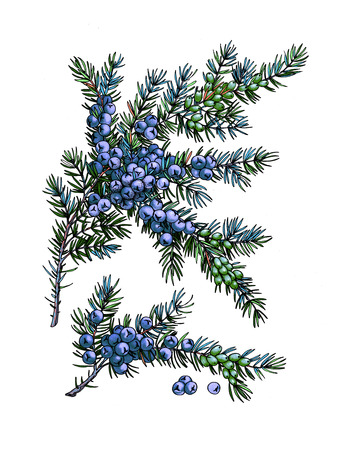 Juniper branch. Wild berry. Medicinal Herbs. Stock Photo - 104905871