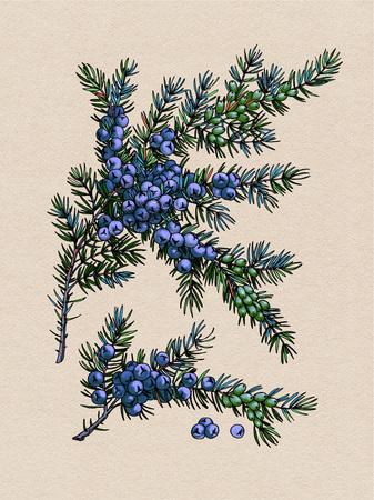 Juniper branch. Wild berry. Medicinal Herbs.